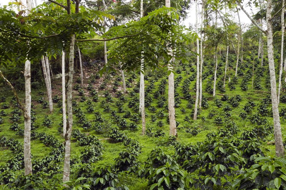 Shade Grown Coffee Plantation